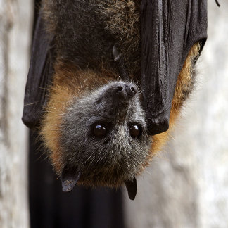 Australian Bat