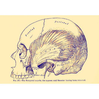 Vintage Anatomy Human Temporal Muscle