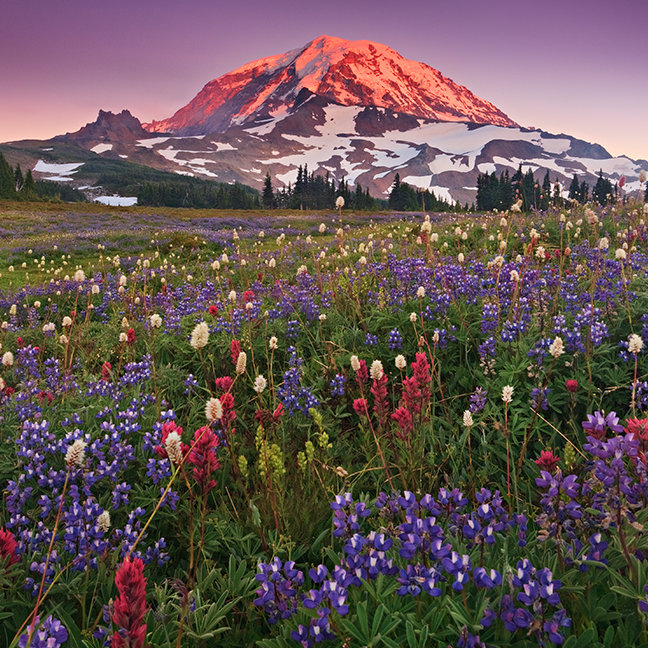 Colorful Flowers in Rainier National Park