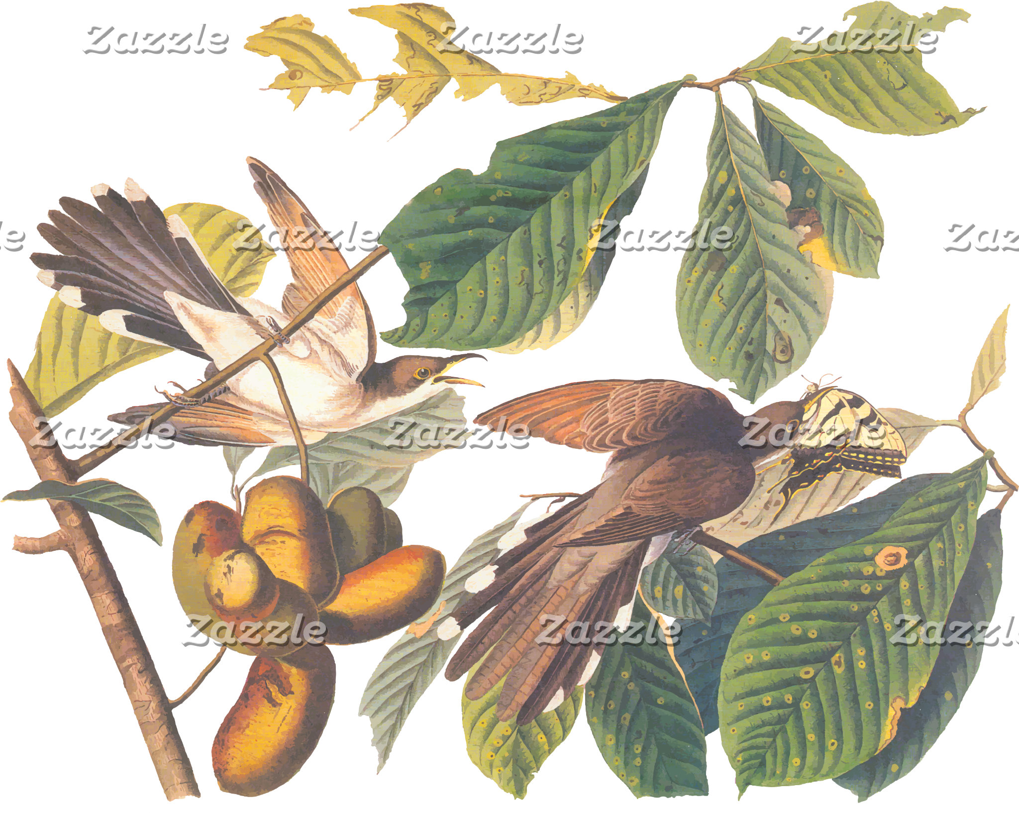 Yellow-Billed Cuckoo (Plate 2)
