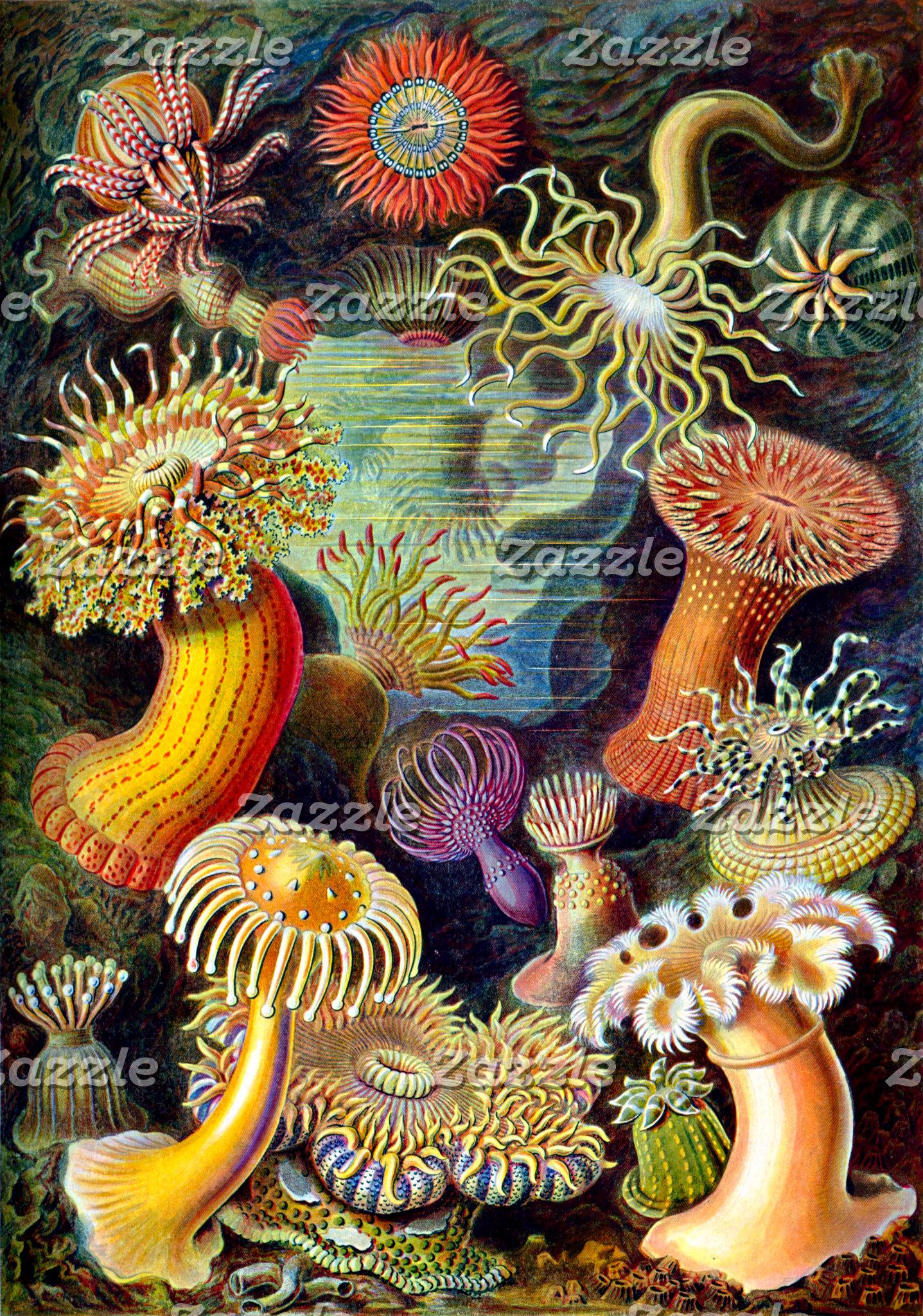 Ernst Haeckel Actiniae