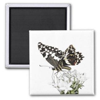 Swallowtail empoleirou-se no branco imã