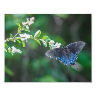 Swallowtail Foto