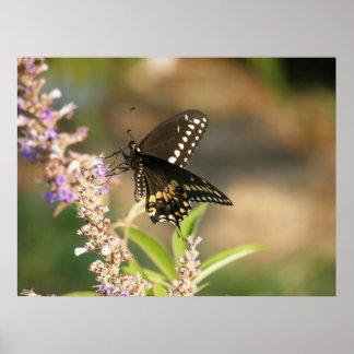 Swallowtail preto em puro poster
