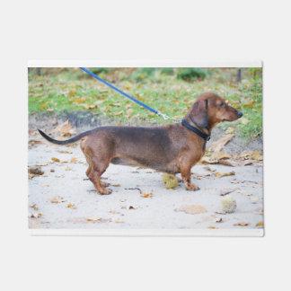 Tapete cheio dachshund-selvagem do varrão