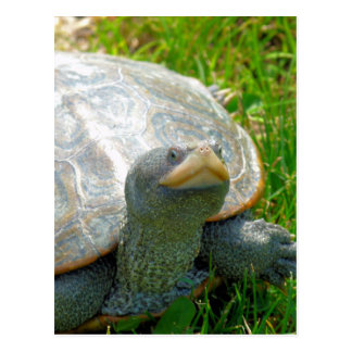 tartaruga cartão postal