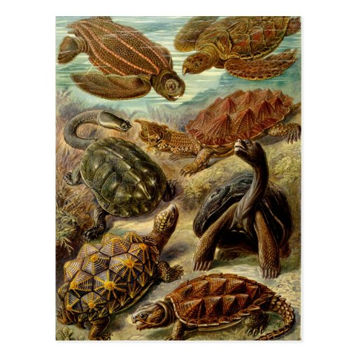 Tartaruga (Chelonia) pelo cartão de Haeckel Cartoes Postais