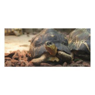 Tartaruga da terra 10.16 x 22.86cm panfleto