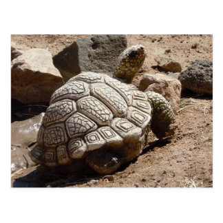 Tartaruga de deserto - sudoeste americano cartão postal