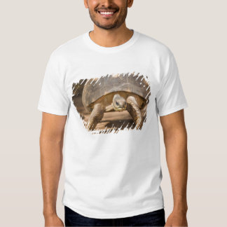 Tartaruga irradiada, radiata de Astrochelys, com a T-shirt