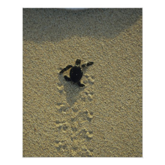 Tartaruga verde, (mydas do Chelonia), hatchling Pôster