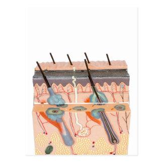 Tecido humano modelo da pele no fundo branco cartão postal