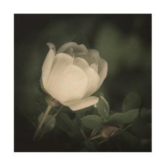 Tela De Madeira Selvagem branco aumentou em um fundo escuro