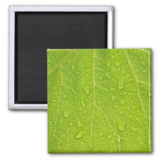 Textura verde da folha com gotas da água ímã quadrado