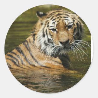 Tigre Adesivo Redondo