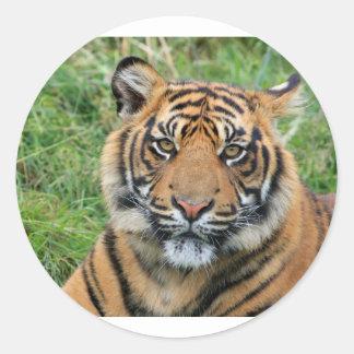 Tigre Adesivos Redondos