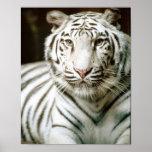 Tigre branco pôsteres