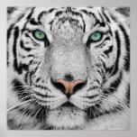 Tigre branco posters