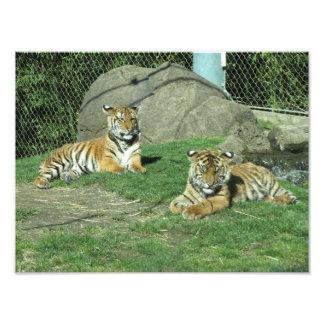 Tigre Cubs Malayan e de Sumatran Impressão De Foto