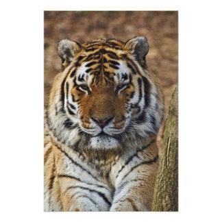 Tigre de Bengal, Panthera jardim zoológico de tigr Fotografias