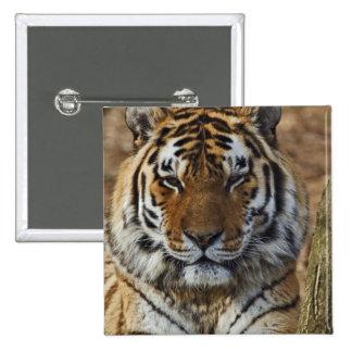 Tigre de Bengal, Panthera jardim zoológico de tigr Bóton Quadrado 5.08cm