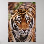 Tigre de Bengal, Panthera tigris Poster