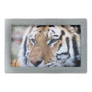 Tigre de Bengal real estóico dos alugueres