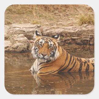 Tigre de Bengal real na lagoa da selva, 2 Adesivo Quadrado
