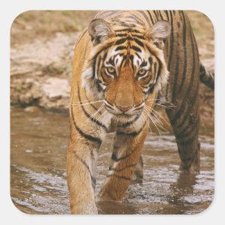 Tigre de Bengal real que sai da lagoa da selva, Adesivo Quadrado