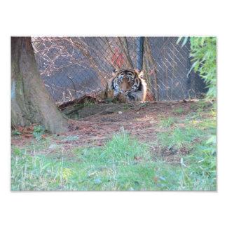 Tigre de Sumatran Impressão Fotográfica