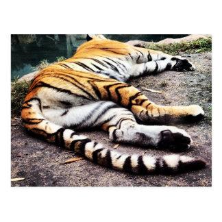 Tigre do sono cartão postal