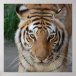 Tigre doce impressão