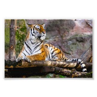 Tigre lindo que encontra-se para baixo impressão de foto