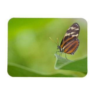 Tigre Longwing Ímã