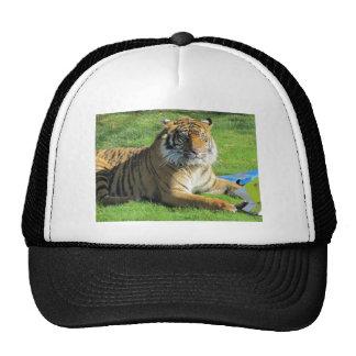 tigre no jardim zoológico bonés