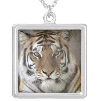 tigre prisioneiro, santuário do jardim zoológico colar com pendente quadrado