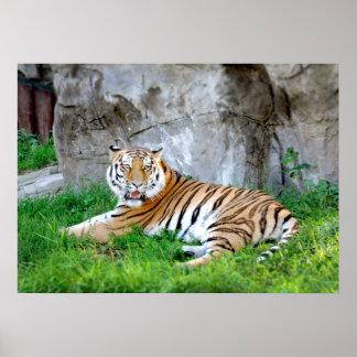 Tigre que encontra-se no poster da foto da grama