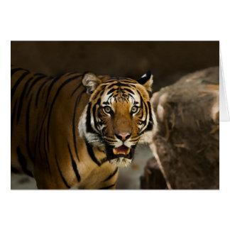 Tigre Siberian Cartão