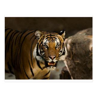 Tigre Siberian Cartão Postal