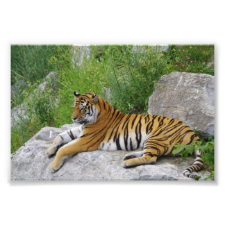 Tigre Siberian que relaxa em uma rocha Impressão De Foto