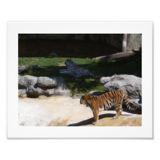 Tigres brancos e dourados foto arte