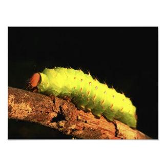 Traça de Luna Caterpillar Impressão De Foto