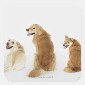 Três cães que olham a câmera adesivo quadrado