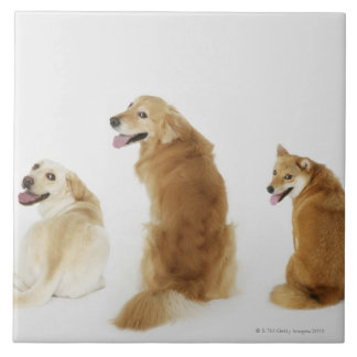 Três cães que olham a câmera azulejo quadrado grande