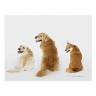 Três cães que olham a câmera cartoes postais