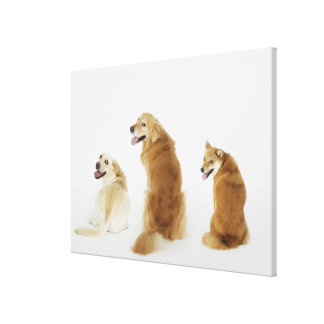 Três cães que olham a câmera impressão em tela