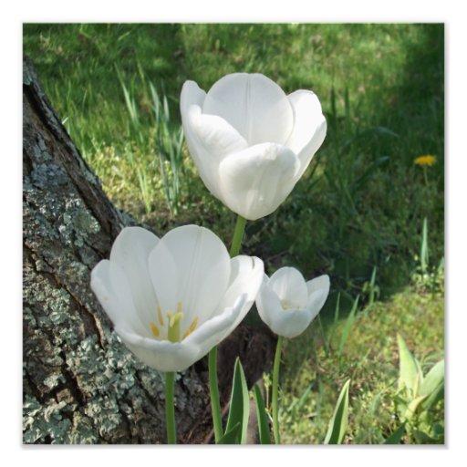 Trio branco da flor das tulipas arte de fotos