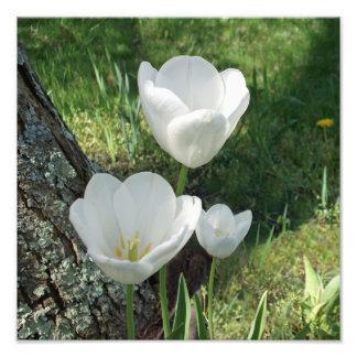Trio branco da flor das tulipas impressão de foto