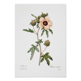 Trionum do hibiscus pôster