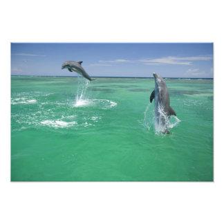 Truncatus) do Tursiops dos golfinhos de Bottlenose Impressão De Foto